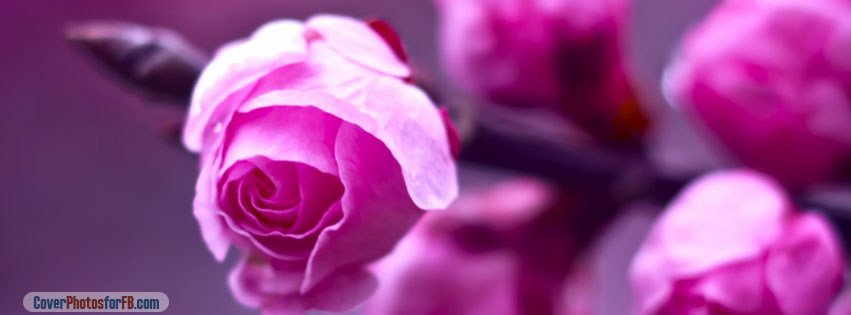Pink Roses Branch Macro Cover Photo